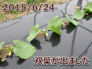 2015/6/24 双葉が出ました