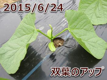 2015/6/24 双葉のアップ