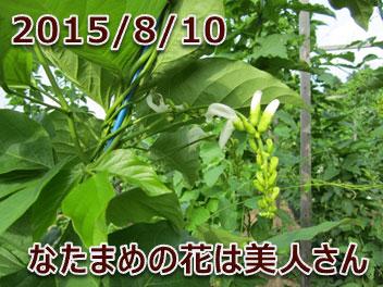 2015/8/10 なたまめの花は美人さん