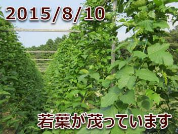2015/8/10 若葉が茂っています