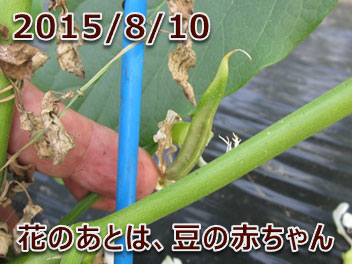 2015/8/10 花のあとは、豆の赤ちゃん