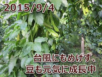2015/9/4 台風にもめげず、豆も元気に成長中
