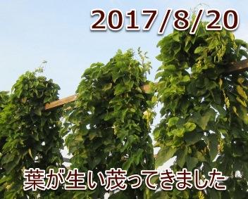 2017/8/20 葉が生い茂ってきました