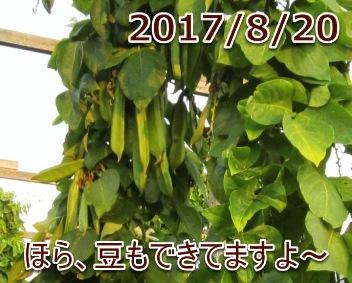 2017/8/20 ほら、豆もできてますよ~